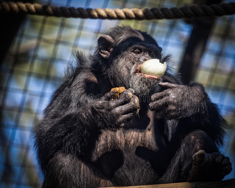 Chimpansee en Uien stock afbeelding