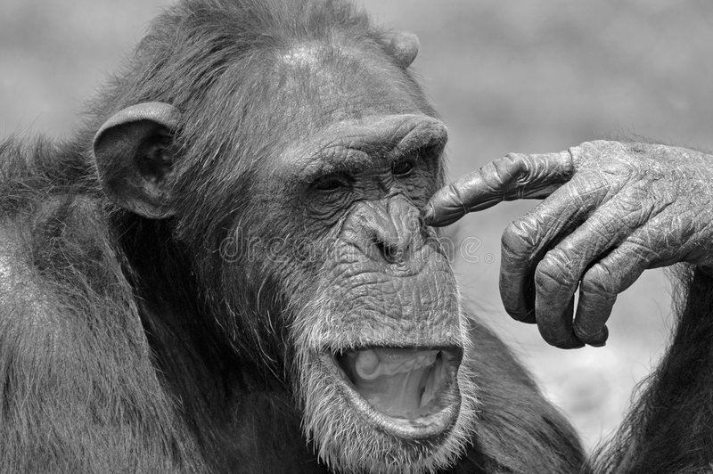 Chimpansee in Gedachte. royalty-vrije stock afbeelding