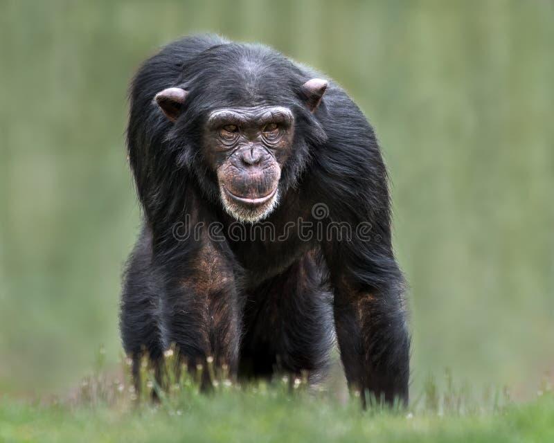 Chimpansee XXXII royalty-vrije stock fotografie