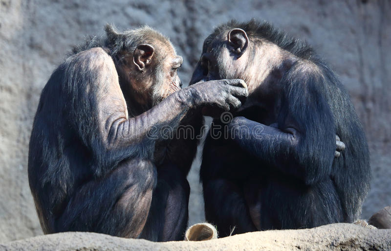 Chimpanseepaar stock foto