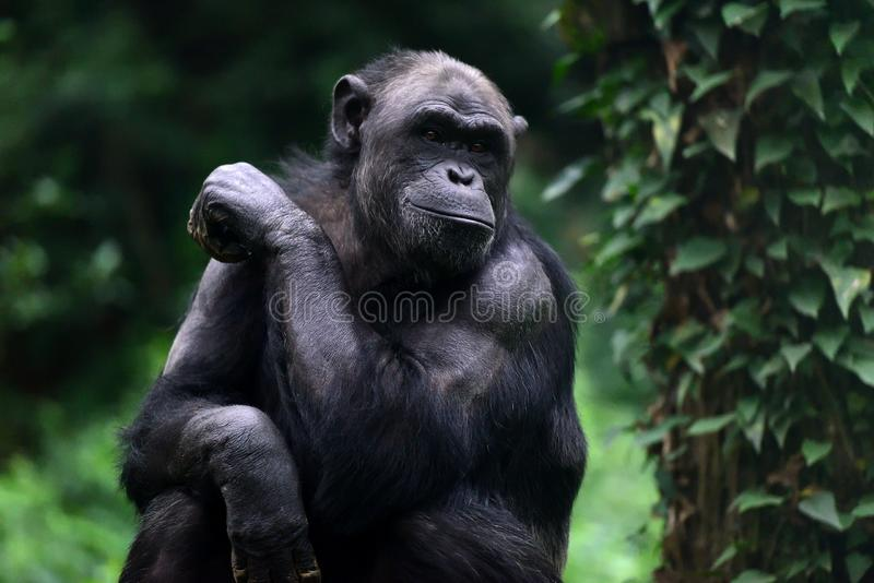 chimpansees royalty-vrije stock afbeelding