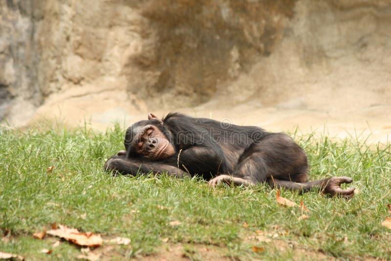 Chimpanseeslaap op het gras stock foto's