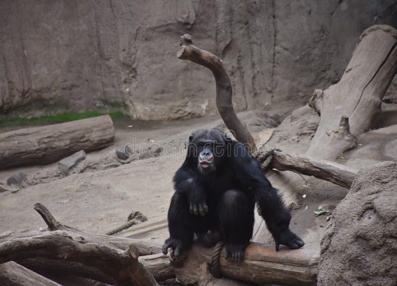 Chimpanseezitting in de Zon bij de Dierentuin stock afbeelding