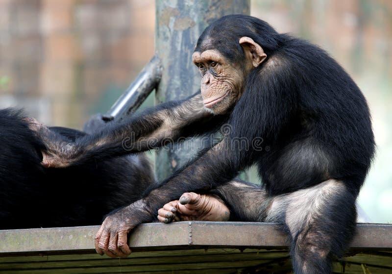 Chimpanseezitting op de metaalbank bij dierentuin in Kuala Lumpur royalty-vrije stock foto