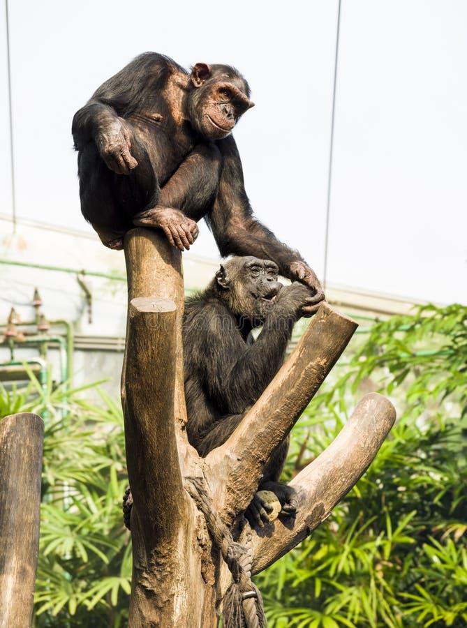 Chimpanseezitting op een stomp en het onderzoeken van de afstand Witte achtergrond royalty-vrije stock foto's