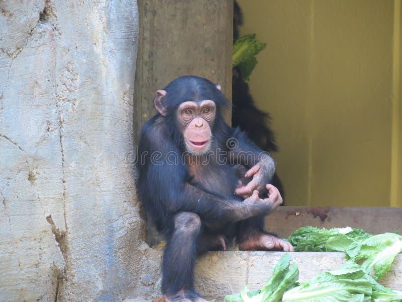 chimpanzé photo libre de droits