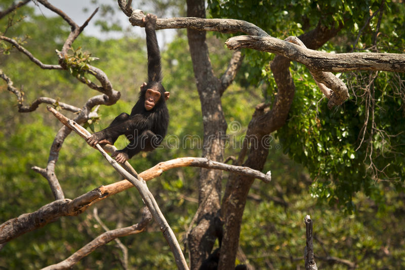 Chimpanzé image stock