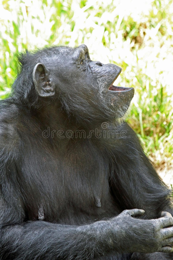 Chimpanzé images stock