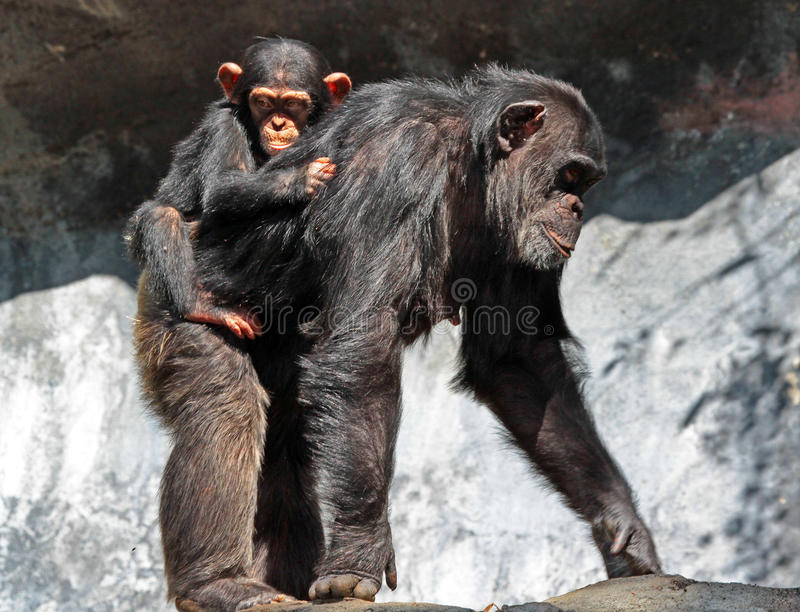 chimpanzé photos stock