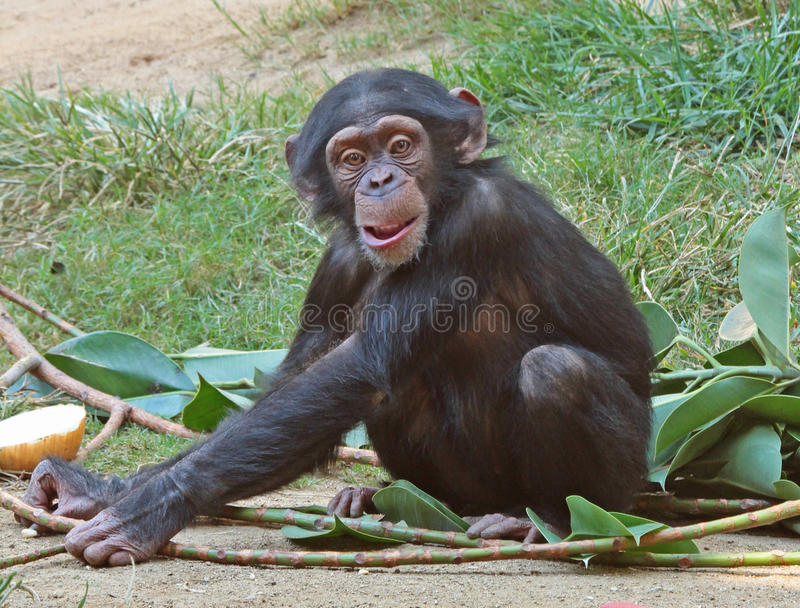 chimpanzé fotografia de stock royalty free