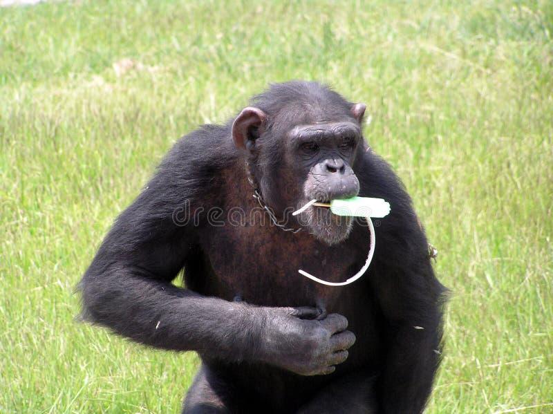 Chimpanzé avec la glace photographie stock libre de droits