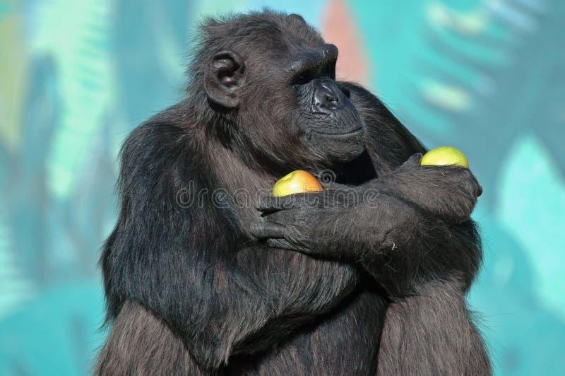 Chimpanzé bonito fotografia de stock royalty free