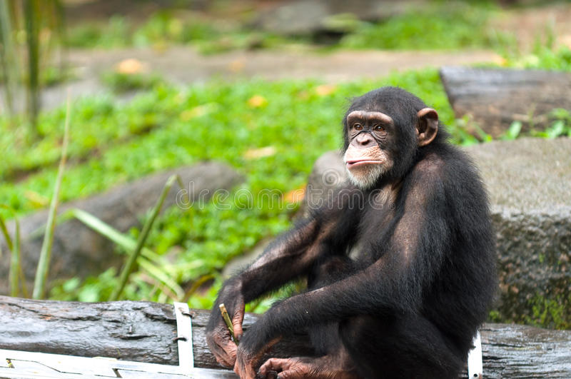 Chimpanzé commun photo stock