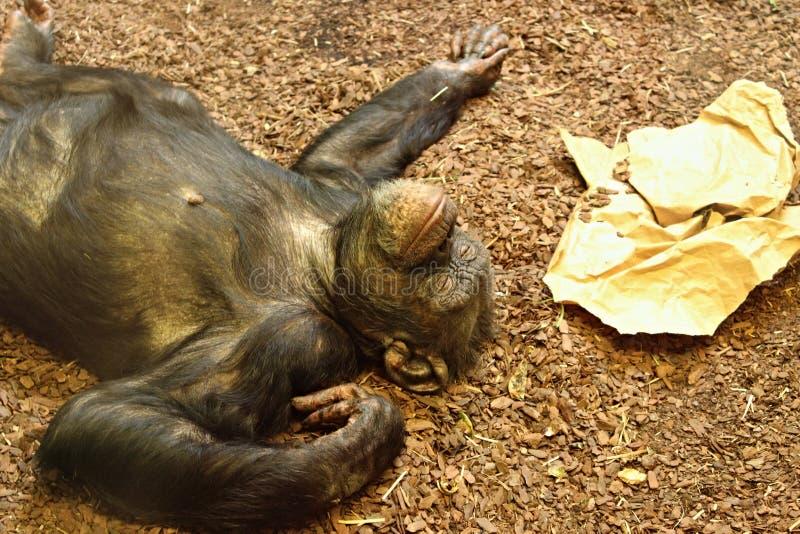 Chimpanzé commun (chimpanzé robuste) photographie stock libre de droits