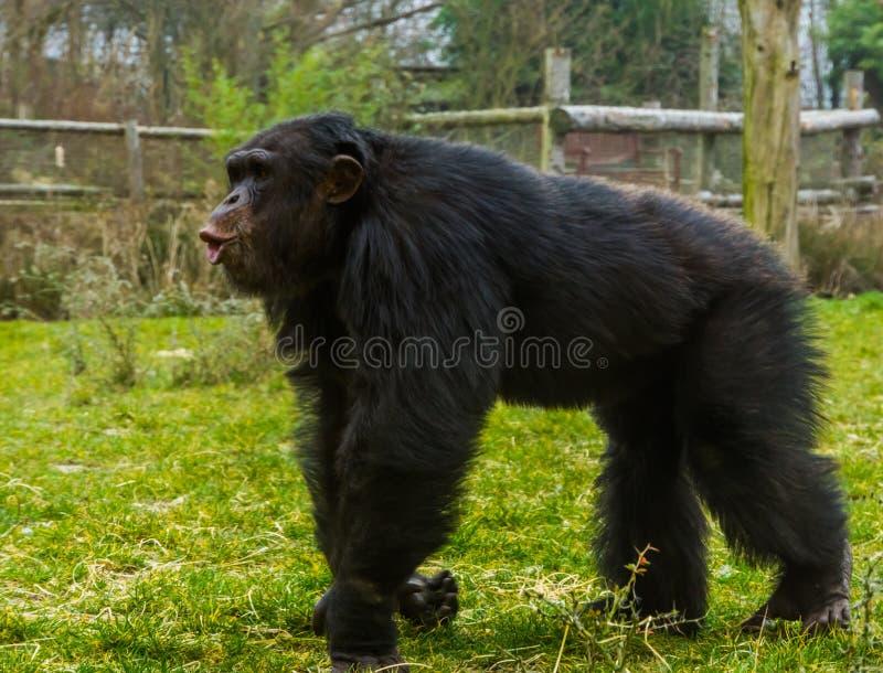 Chimpanzé commun noir marchant par et faisant un visage drôle, espèce animale mise en danger d'Afrique photo libre de droits