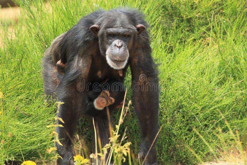 Chimpanzé comum imagem de stock