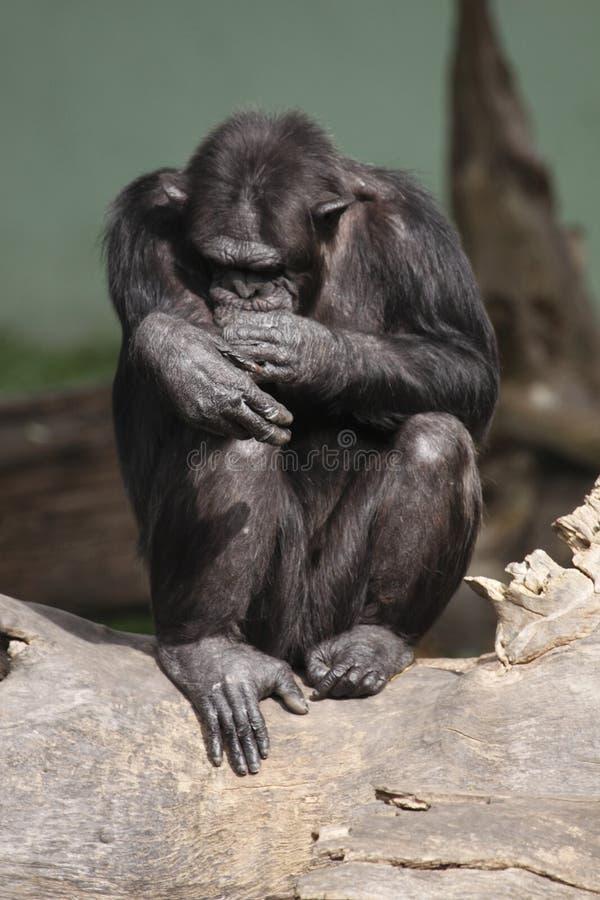 Chimpanzé comum imagem de stock royalty free