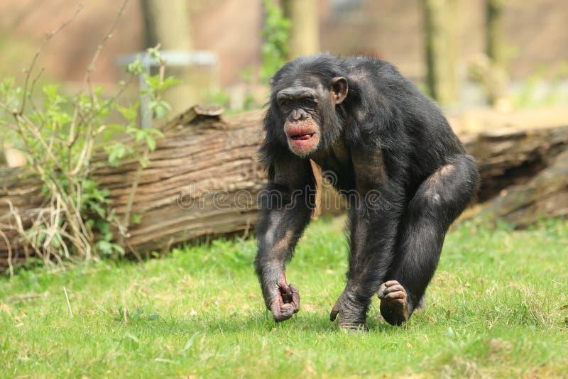 Chimpanzé comum imagens de stock royalty free