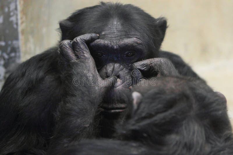 Chimpanzé comum imagens de stock
