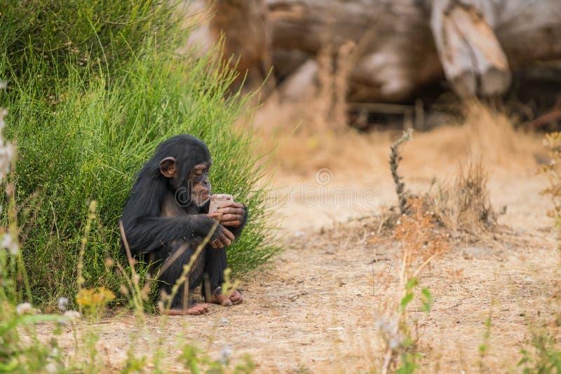 Chimpanzé comum com gelo foto de stock