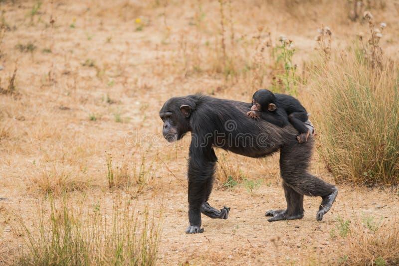 Chimpanzé comum com um chimpanzé do bebê fotografia de stock royalty free