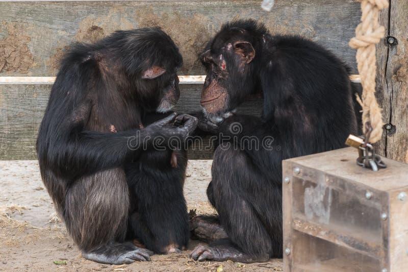 Chimpanzé comum com um chimpanzé do bebê e velho imagem de stock royalty free