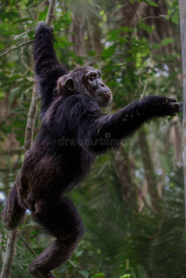 Chimpanzé comum - retrato científico do schweinfurtii dos trogloditas da bandeja do nome em Kibale Forest National Park, montanha foto de stock royalty free