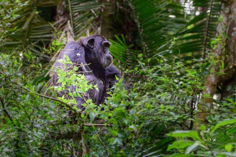 Chimpanzé comum - retrato científico do schweinfurtii dos trogloditas da bandeja do nome em Kibale Forest National Park, montanha foto de stock