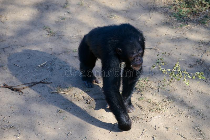 Chimpanzé dans la garde photos stock