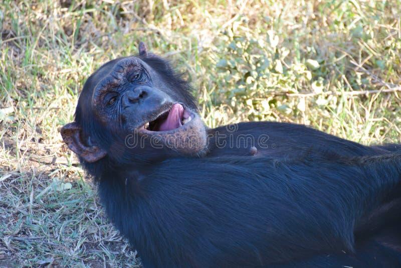 Chimpanzé dans la garde photographie stock