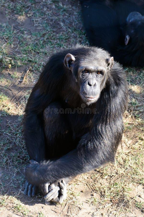 Chimpanzé dans la garde image libre de droits