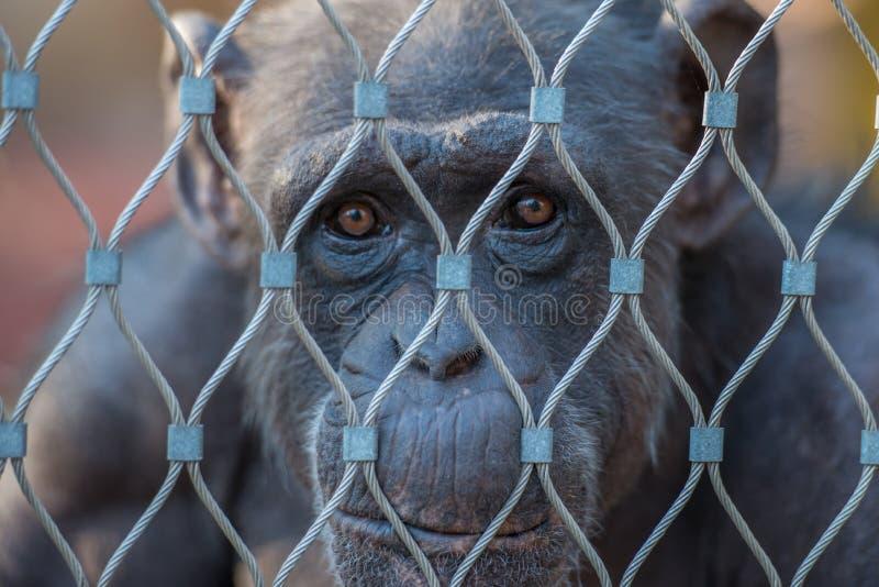 Chimpanzé dans une cage image stock