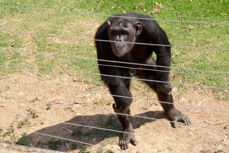 Chimpanzé derrière des barres images libres de droits