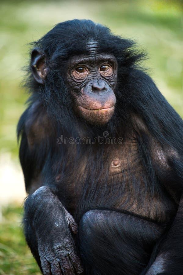 Chimpanzé do Bonobo imagens de stock royalty free
