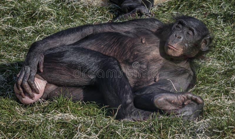 Chimpanzé do Bonobo - bandeja imagem de stock royalty free