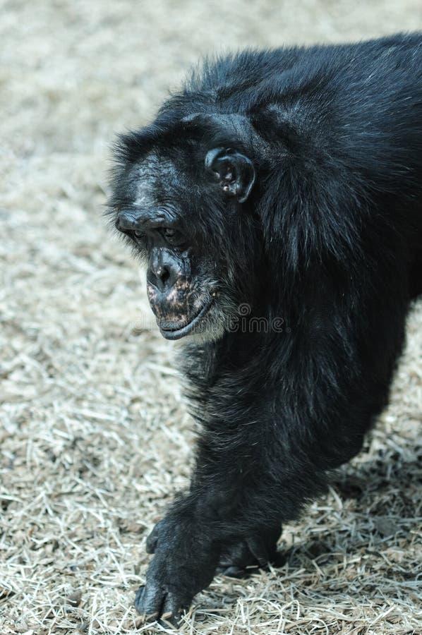 Chimpanzé en captivité photographie stock libre de droits