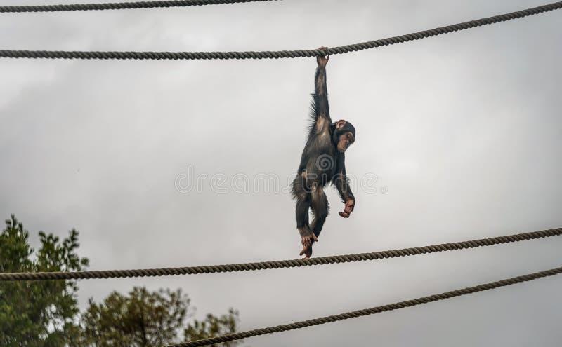 Chimpanzé en Sydney Zoo accrochant sur la corde image stock
