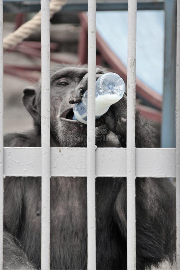 Chimpanzé mûr photos stock