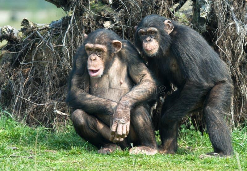 Chimpanzé mignon images libres de droits