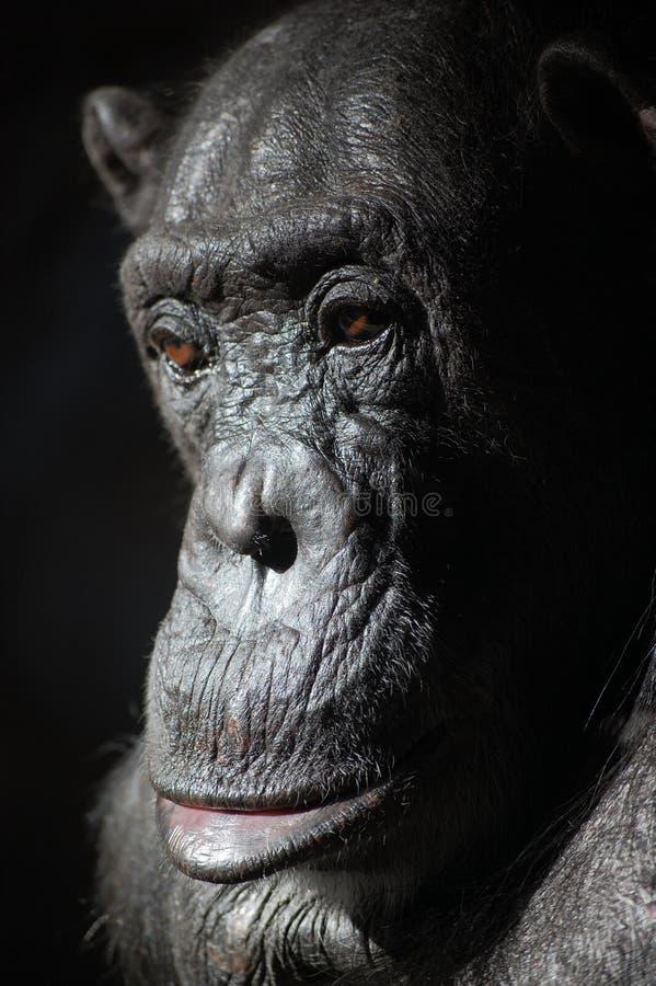Chimpanzé na família do grande macaco, não um gorila imagem de stock