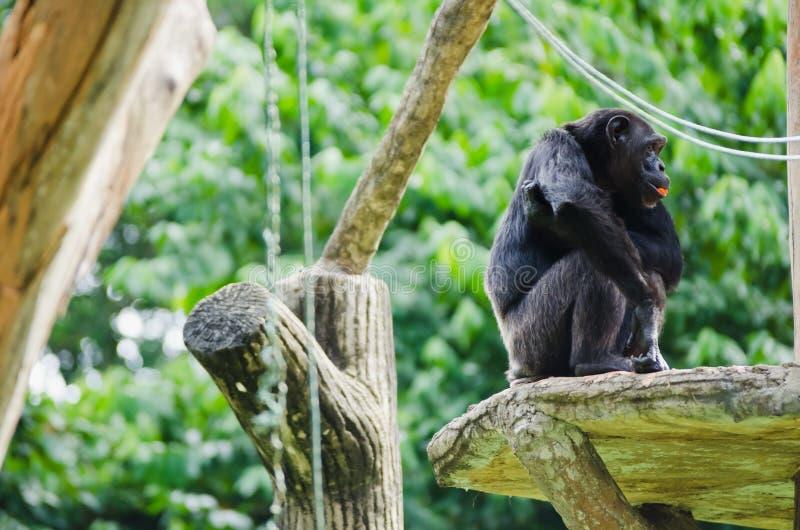 Chimpanzé na plataforma fotografia de stock