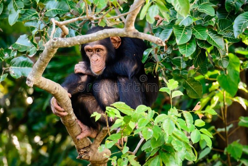 Chimpanzé no dever de sentinela imagens de stock