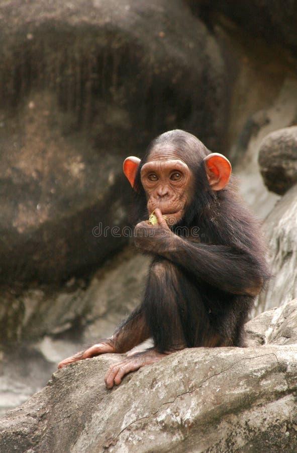Chimpanzé pequeno foto de stock
