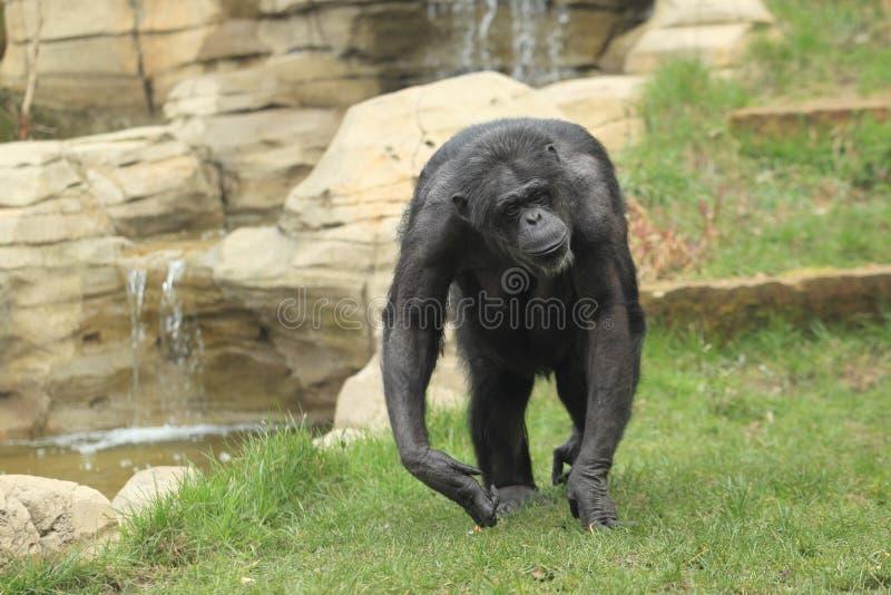 chimpanzé Preto-enfrentado fotos de stock