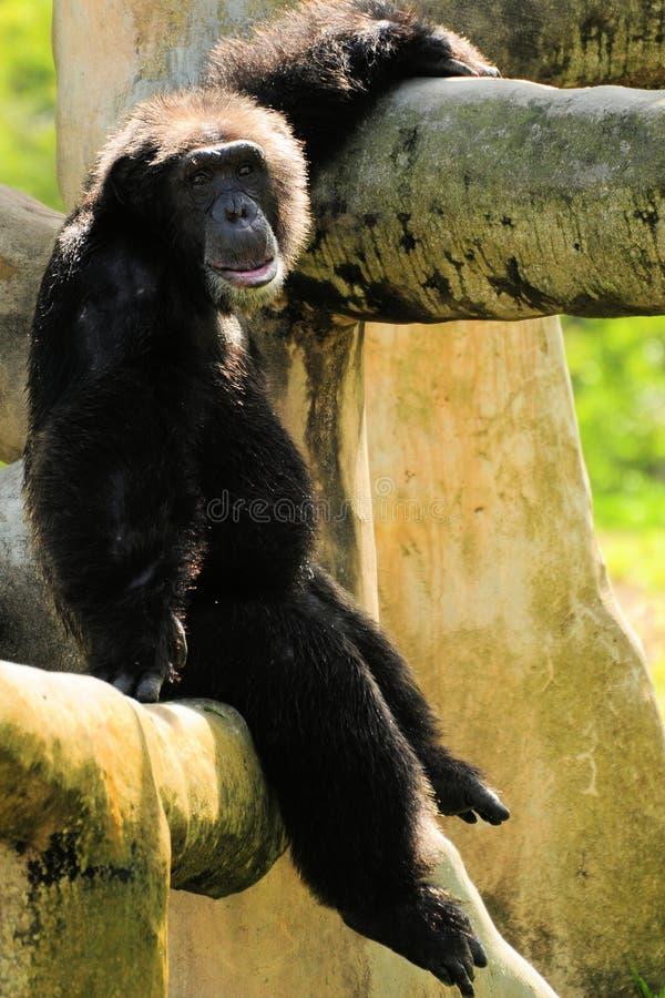 Chimpanzé que levanta com sorrir forçadamente imagem de stock