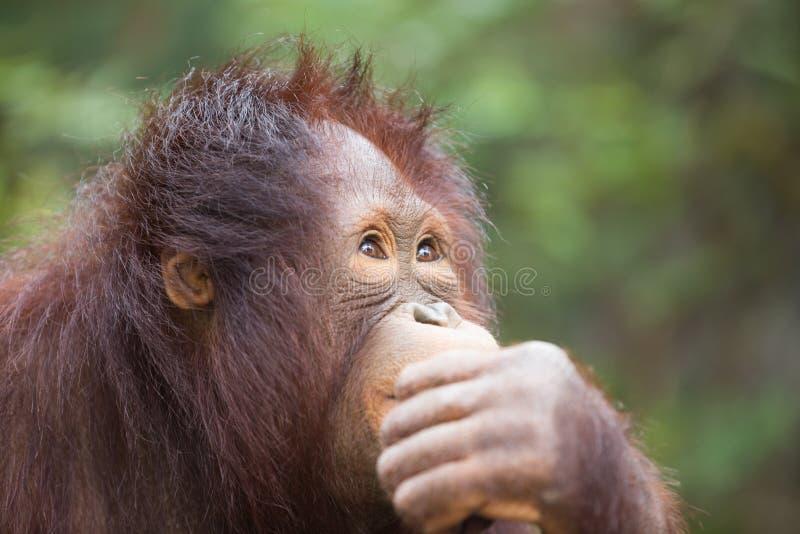 Chimpanzé que pensa, conceito do close up do negócio imagens de stock royalty free