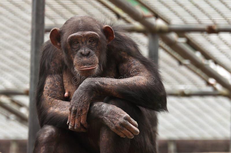 Chimpanzé regardant en arrière vous photographie stock