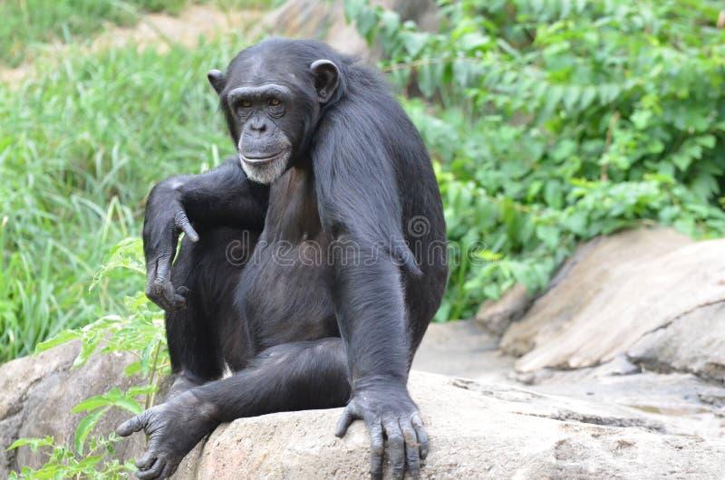 Chimpanzé sur une roche images stock