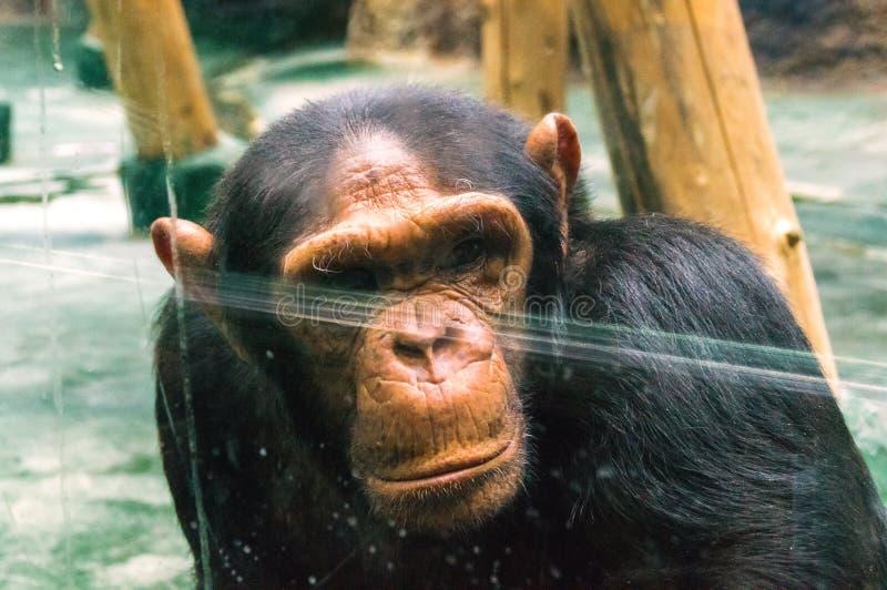 Chimpanzé triste foto de stock