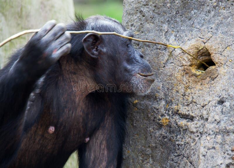 Chimpanzé utilisant des outils photo stock